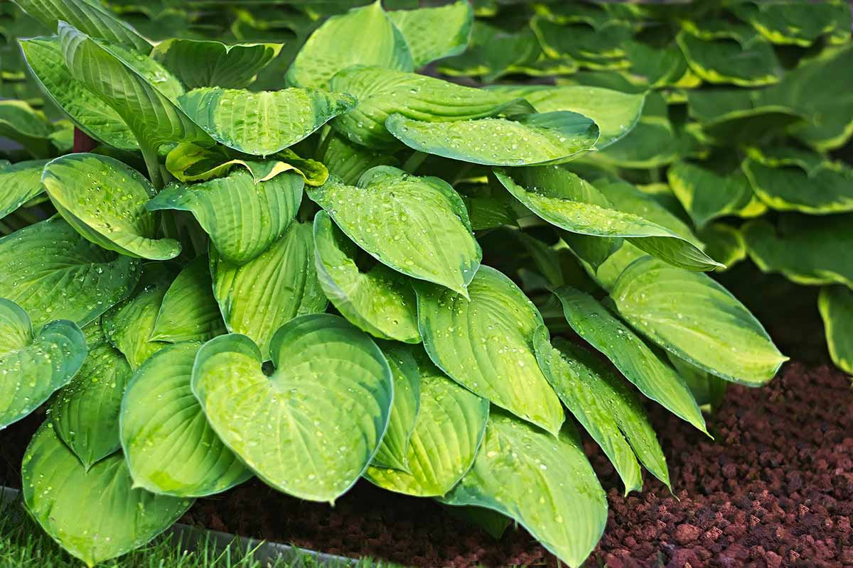 protect hosta from deer