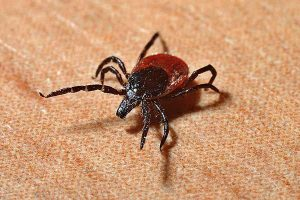 black legged tick or deer tick carries Lyme Disease