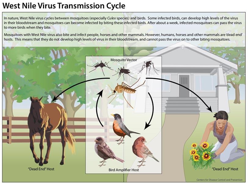 West-Nile Virus Transmission Cycle