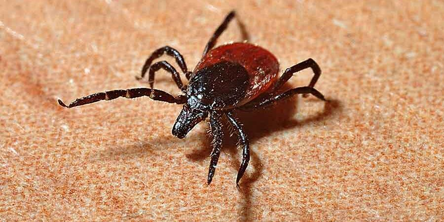 black legged tick or deer tick