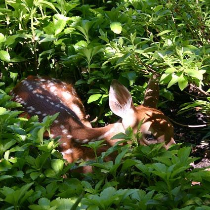 deer in landscaping